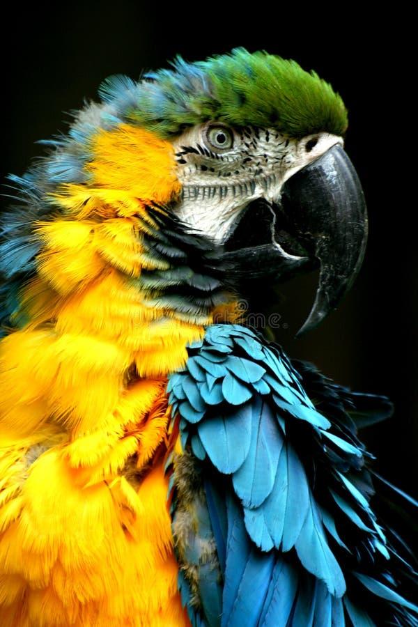 Download Παπαγάλος στοκ εικόνες. εικόνα από ζωηρόχρωμος, φτερά - 17056812