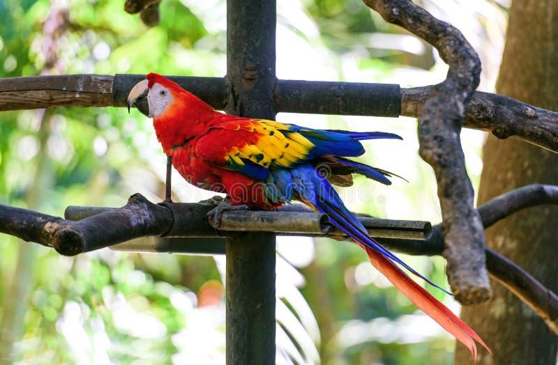 Παπαγάλος Ara στο πράσινο τροπικό δάσος στοκ εικόνες