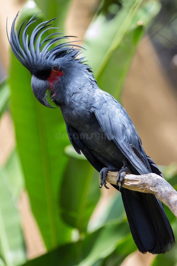Παπαγάλος Cockatoo φοινικών να περιβάλει φύσης στοκ εικόνες με δικαίωμα ελεύθερης χρήσης