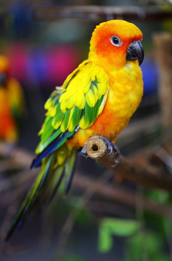 Παπαγάλος Conure ήλιων στοκ εικόνες με δικαίωμα ελεύθερης χρήσης