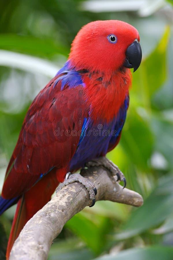 παπαγάλος eclectus στοκ φωτογραφίες
