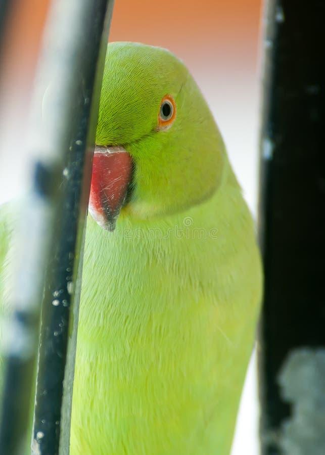 Παπαγάλος ένα στενός επάνω ματιών στοκ εικόνα
