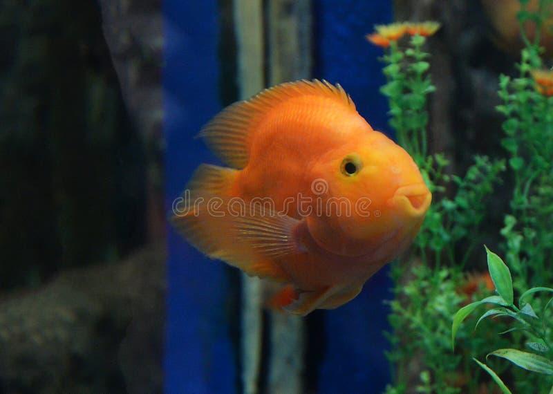 Παπαγάλος αίματος cichlid στοκ εικόνα