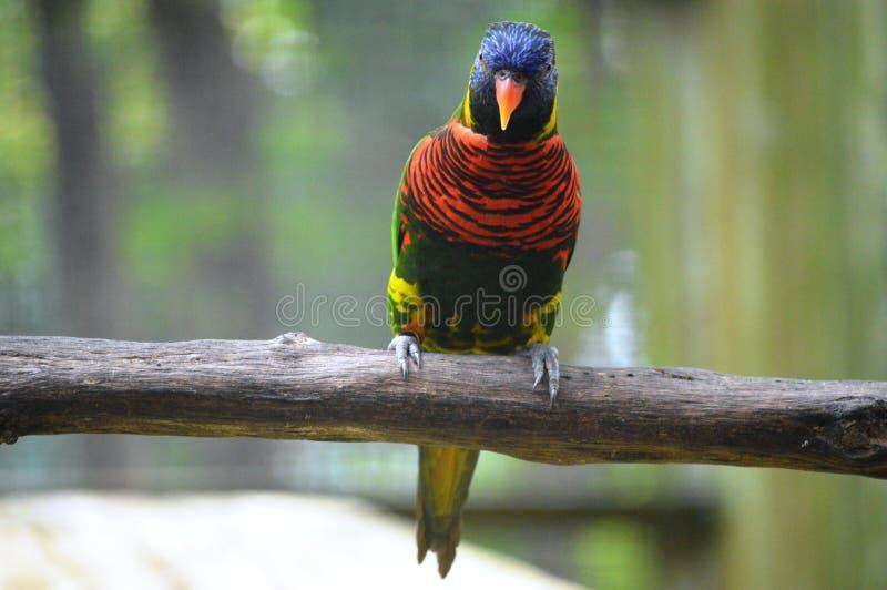 παπαγάλος πάρκων της Ινδονησίας κλάδων πουλιών του Μπαλί στοκ φωτογραφία
