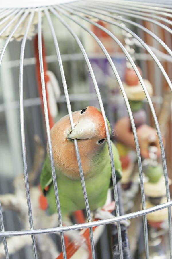 Παπαγάλος στο κλουβί στοκ φωτογραφία