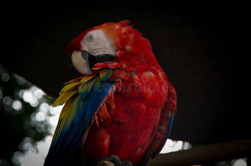 Παπαγάλος closup στοκ εικόνα