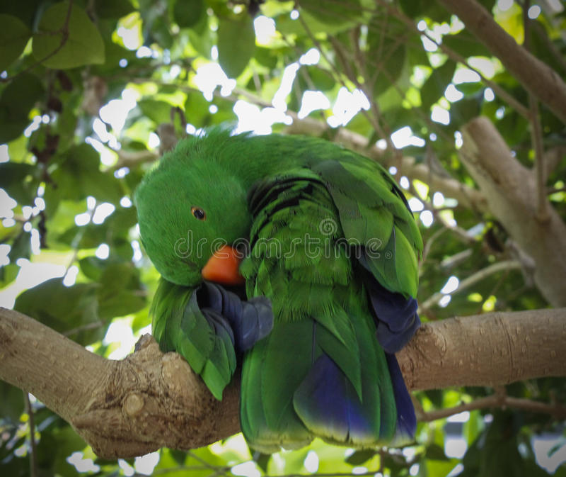 Παπαγάλος Eclectus στοκ φωτογραφίες με δικαίωμα ελεύθερης χρήσης