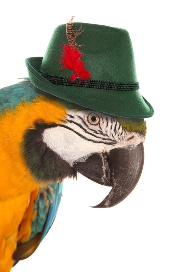 Παπαγάλος Macaw που φορά ένα βαυαρικό καπέλο στοκ εικόνα