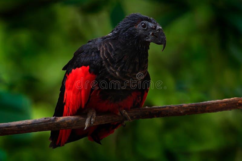 Παπαγάλος PesquetÂ, fulgidus Psittrichas, σπάνιο πουλί από τη Νέα Γουϊνέα άσχημος κόκκινος και μαύρος παπαγάλος στο βιότοπο φύσης στοκ εικόνες