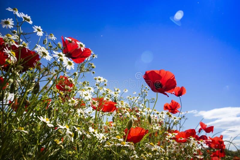 Παπαρούνα και chamomile στοκ φωτογραφίες με δικαίωμα ελεύθερης χρήσης