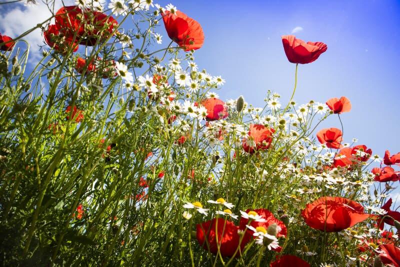 Παπαρούνα και chamomile στοκ φωτογραφίες