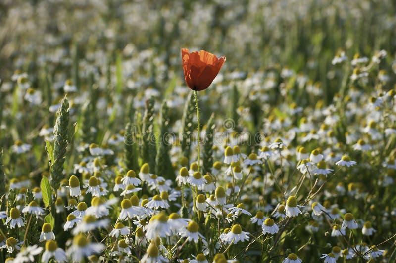 Παπαρούνα και chamomile στοκ εικόνα