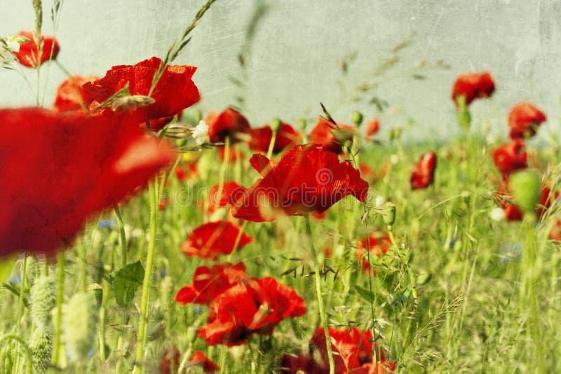 παπαρούνα λουλουδιών π&epsil στοκ εικόνες