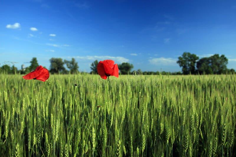 Download παπαρούνα λουλουδιών στοκ εικόνα. εικόνα από εποχές, σιταποθηκών - 2232171