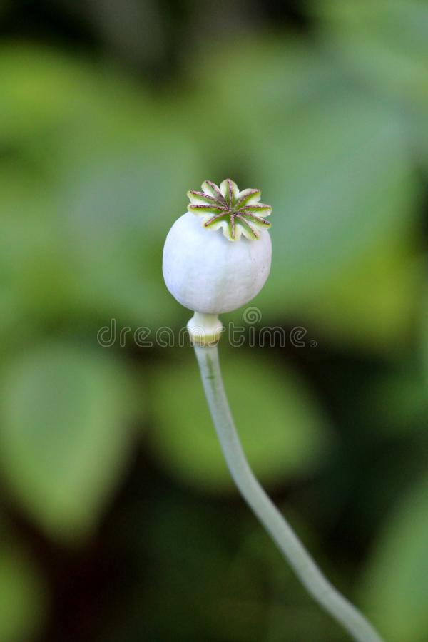 Παπαρούνα οπίου ή papaver - ετήσιο ανθίζοντας φυτό somniferum με τη στρογγυλευμένη κάψα και την ακτινοβολία των στιγματικών ακτίν στοκ εικόνες με δικαίωμα ελεύθερης χρήσης
