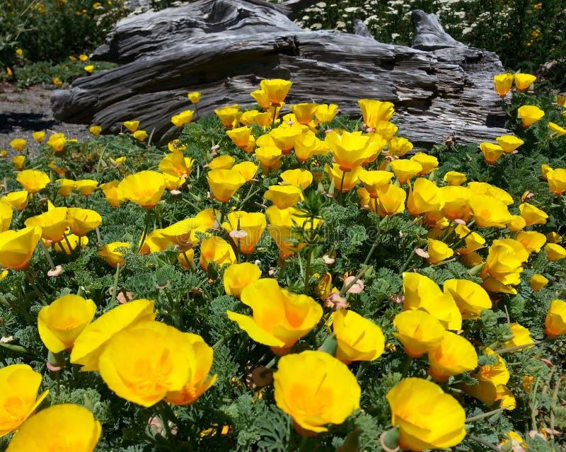 παπαρούνες Καλιφόρνιας κίτρινες στοκ φωτογραφία