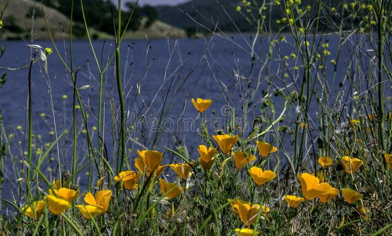 Παπαρούνες κοντά σε μια λίμνη Καλιφόρνιας στοκ εικόνες