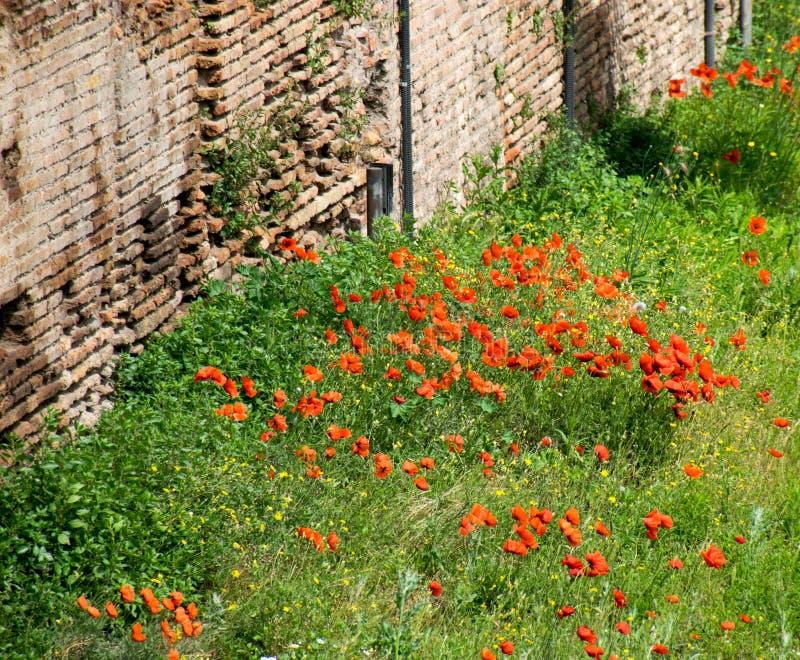 Παπαρούνες μεταξύ των καταστροφών στη Ρώμη, Ιταλία στοκ εικόνες με δικαίωμα ελεύθερης χρήσης