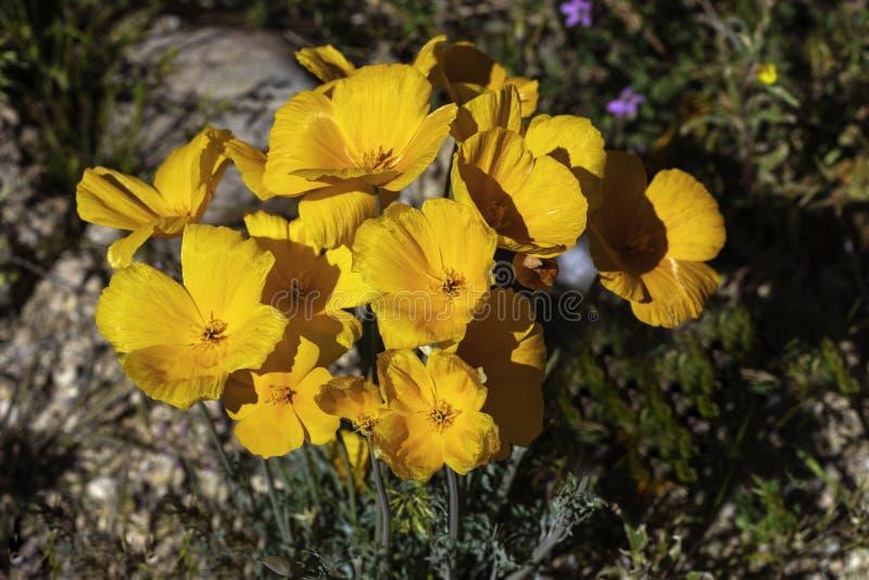 Παπαρούνες που ανθίζουν στην έρημο Αριζόνα στοκ φωτογραφίες