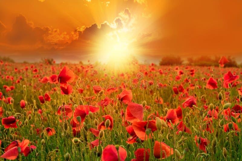 Παπαρούνες σε ένα έδαφος στο ηλιοβασίλεμα σε θερινή περίοδο στοκ εικόνα με δικαίωμα ελεύθερης χρήσης