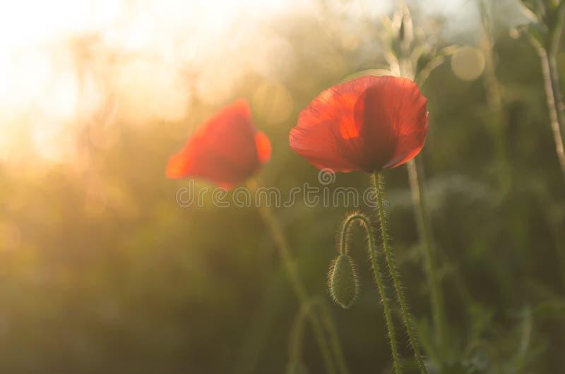 Παπαρούνες στον ήλιο στοκ φωτογραφίες με δικαίωμα ελεύθερης χρήσης