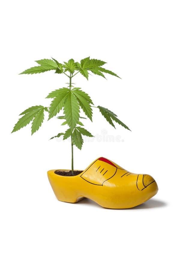 παπούτσι φυτών μαριχουάνα ξύλινο στοκ φωτογραφία