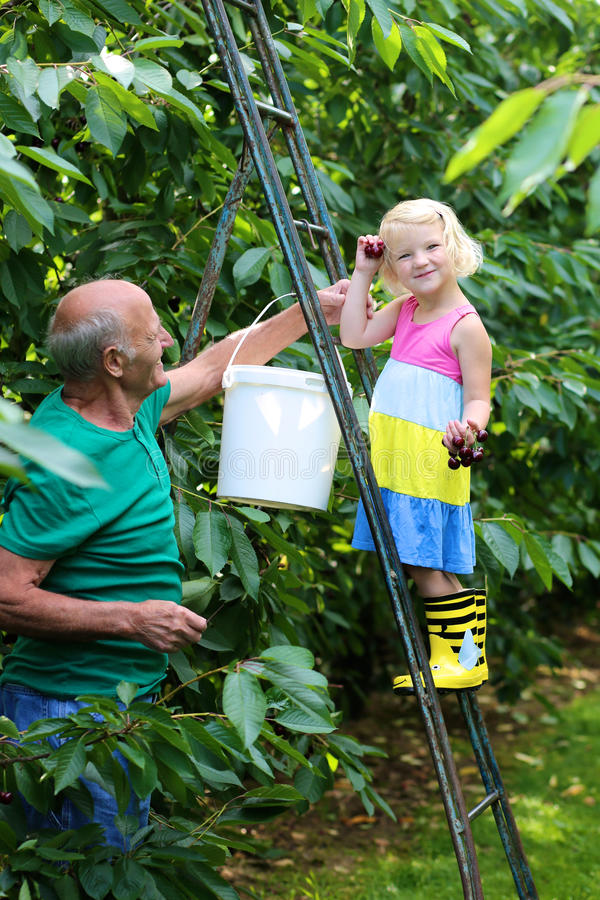 Παππούς με την εγγονή που επιλέγει τα γλυκά κεράσια στον οπωρώνα στοκ φωτογραφία με δικαίωμα ελεύθερης χρήσης