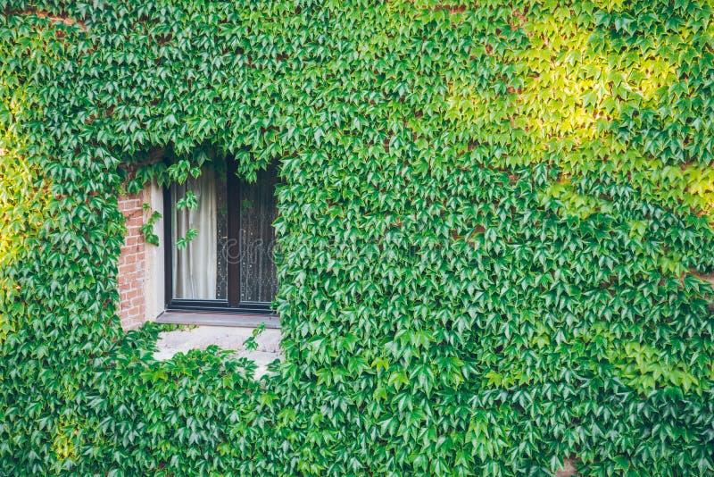 Παράθυρο που περιβάλλεται παλαιό από τις σερνμένος εγκαταστάσεις κισσών στοκ φωτογραφίες