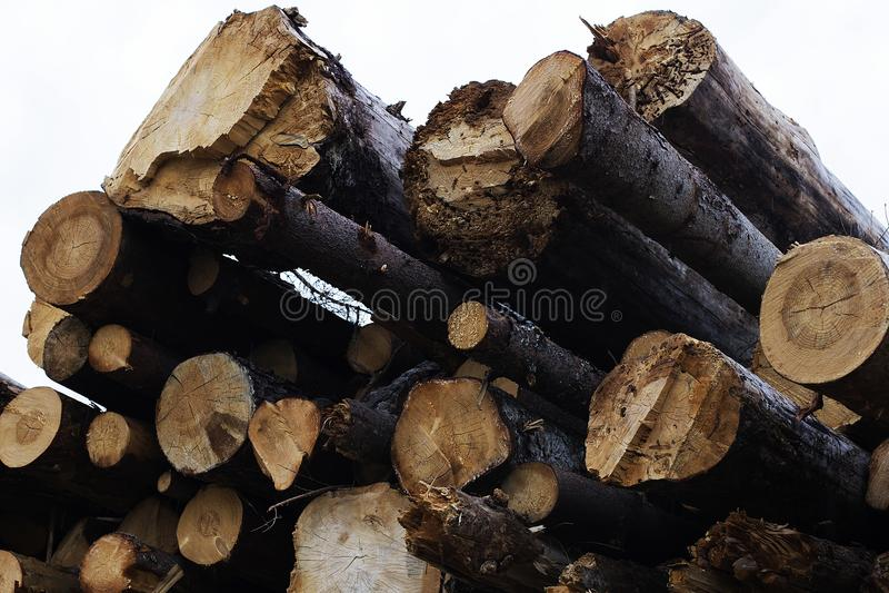 Παράνομη κατάρριψη των δέντρων στη δασική έννοια οικολογίας στοκ εικόνες