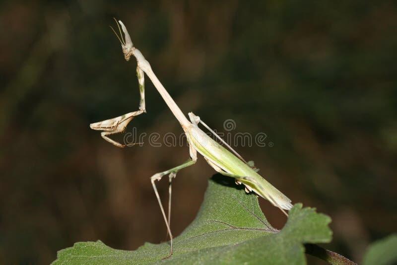 Παράξενο έντομο όπως ένα τέρας στοκ εικόνα