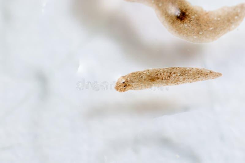 Παράσιτο Planarian flatworm κάτω από την άποψη μικροσκοπίων στοκ φωτογραφία με δικαίωμα ελεύθερης χρήσης