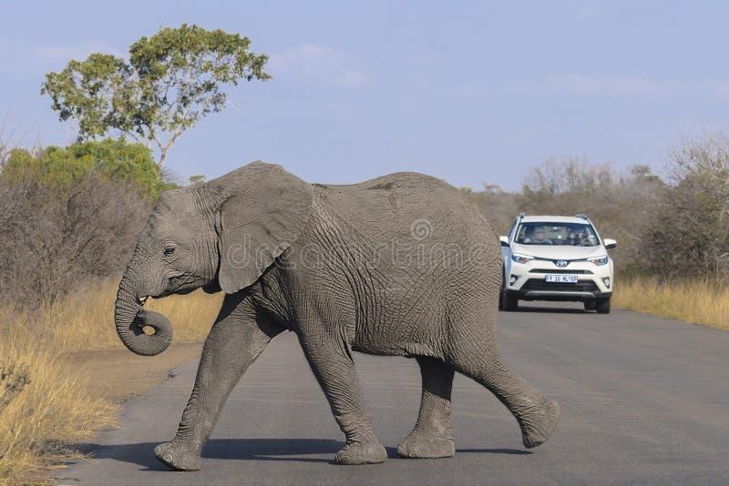 Παραγωγή στον ελέφαντα μωρών που διασχίζει το δρόμο στοκ φωτογραφίες με δικαίωμα ελεύθερης χρήσης