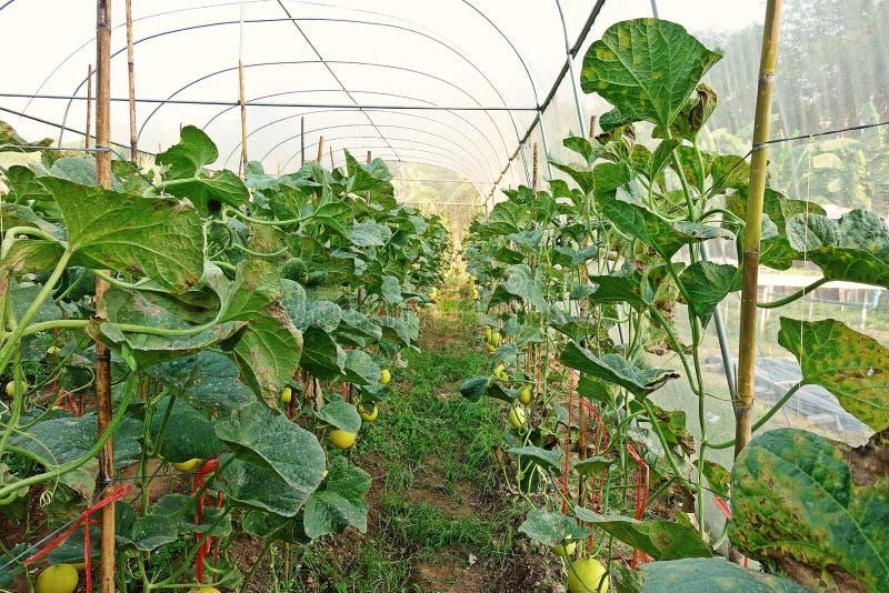 Παραγωγή φρούτων πεπονιών στην κάλυψη θερμοκηπίων με την προστασία καθαρή για να αποτρέψει τη συγκομιδή από την προσβολή εντόμων στοκ φωτογραφία με δικαίωμα ελεύθερης χρήσης