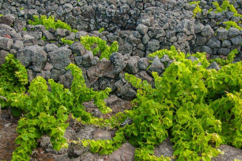 """Παραδοσιακοί αμπελώνες στο νησί Pico, Αζόρες Οι αμπελώνες είναι μεταξύ των τοίχων πετρών, αποκαλούμενος """"αμπελώνα συγκεντρώνει """" στοκ φωτογραφίες"""