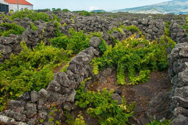 """Παραδοσιακοί αμπελώνες στο νησί Pico, Αζόρες Οι αμπελώνες είναι μεταξύ των τοίχων πετρών, αποκαλούμενος """"αμπελώνα συγκεντρώνει """" στοκ εικόνα"""