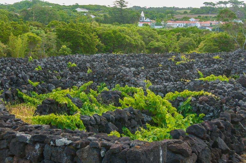 """Παραδοσιακοί αμπελώνες στο νησί Pico, Αζόρες Οι αμπελώνες είναι μεταξύ των τοίχων πετρών, αποκαλούμενος """"αμπελώνα συγκεντρώνει """" στοκ φωτογραφία"""