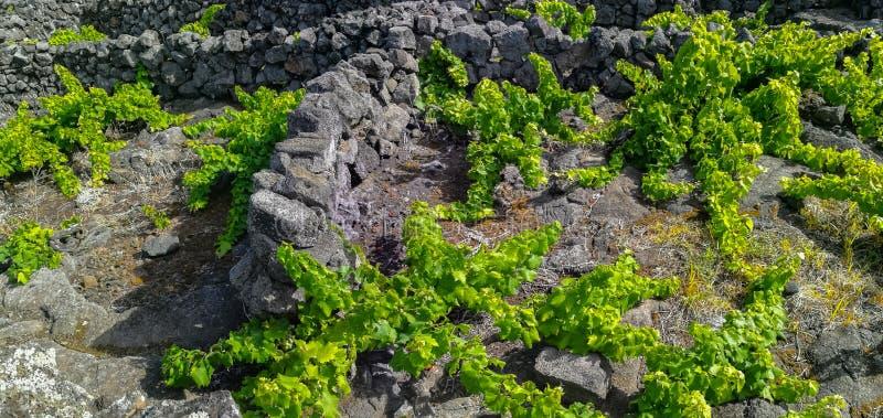"""Παραδοσιακοί αμπελώνες στο νησί Pico, Αζόρες Οι αμπελώνες είναι μεταξύ των τοίχων πετρών, αποκαλούμενος """"αμπελώνα συγκεντρώνει """" στοκ εικόνες"""