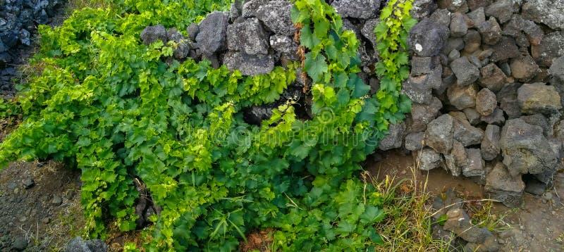 """Παραδοσιακοί αμπελώνες στο νησί Pico, Αζόρες Οι αμπελώνες είναι μεταξύ των τοίχων πετρών, αποκαλούμενος """"αμπελώνα συγκεντρώνει """" στοκ εικόνα με δικαίωμα ελεύθερης χρήσης"""