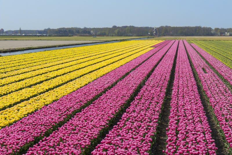 Παραδοσιακός ολλανδικός τομέας τουλιπών με τις σειρές των ρόδινων και κίτρινων λουλουδιών και ένας ανεμόμυλος στοκ εικόνες με δικαίωμα ελεύθερης χρήσης