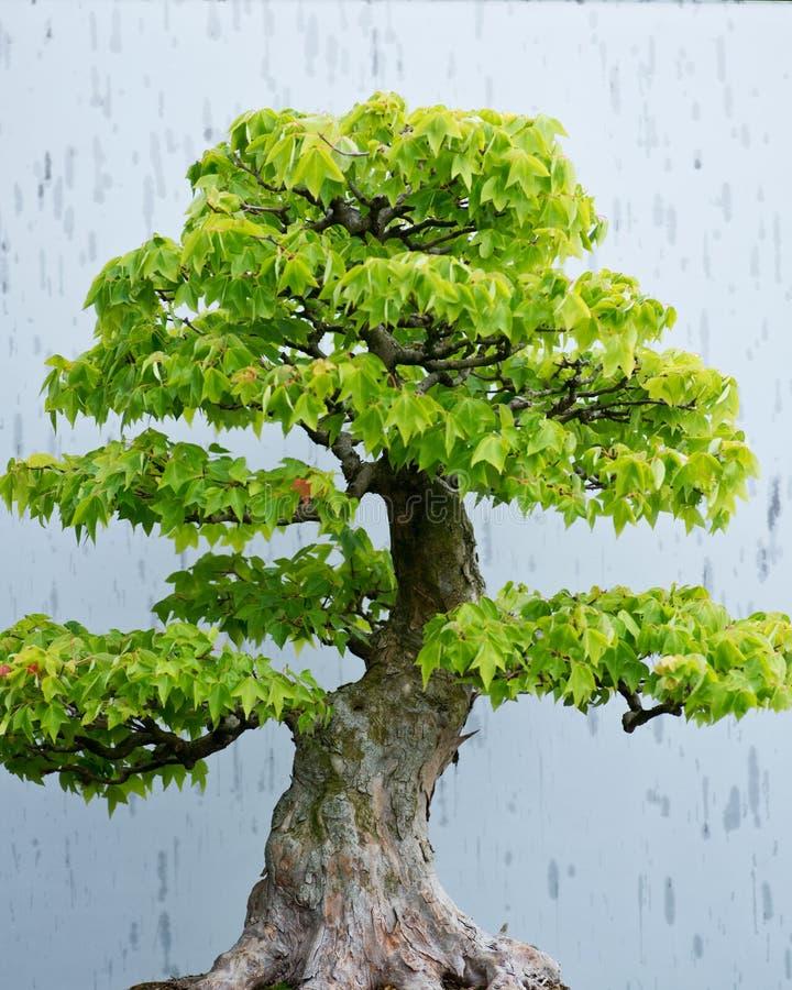 Παραδοσιακό δέντρο μπονσάι, ιαπωνική φόρμα τέχνης που χρησιμοποιεί τα δέντρα που αυξάνονται στα εμπορευματοκιβώτια στοκ φωτογραφία