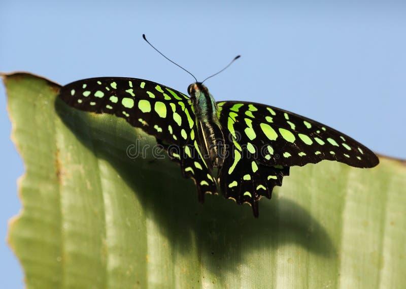 Παρακολουθημένη πεταλούδα του Jay στο ζωολογικό κήπο του Τσέστερ στοκ εικόνα με δικαίωμα ελεύθερης χρήσης