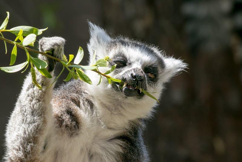 Παρακολουθημένος δαχτυλίδι κερκοπίθηκος που τρώει τα φύλλα στοκ φωτογραφία με δικαίωμα ελεύθερης χρήσης