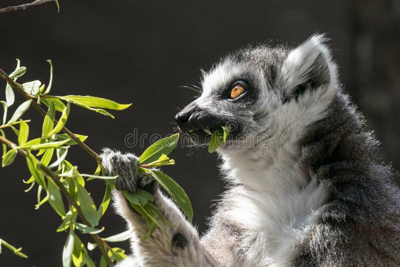 Παρακολουθημένος δαχτυλίδι κερκοπίθηκος που τρώει τα φύλλα στοκ εικόνες