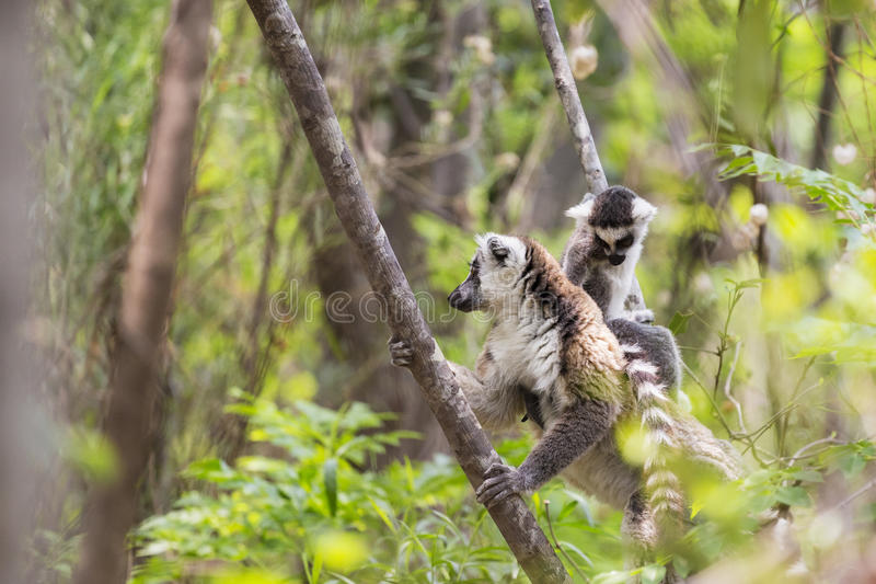 Παρακολουθημένος δαχτυλίδι κερκοπίθηκος με το μωρό στην πλάτη στη Μαδαγασκάρη στοκ φωτογραφία