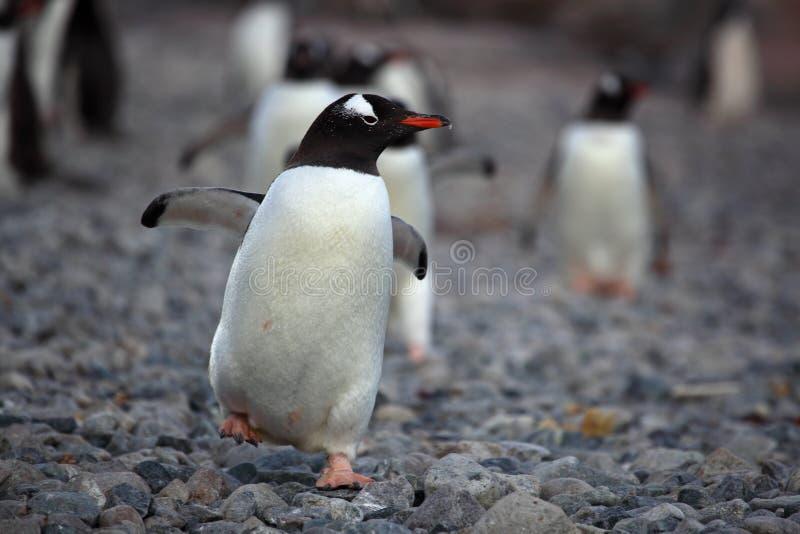 Download παραλία της Ανταρκτικής κά στοκ εικόνες. εικόνα από παγωμένος - 13188442