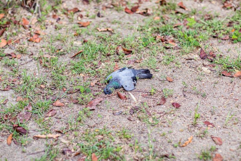 Παραμένει του φτωχού μαύρου πουλιού, πανούκλα του πουλιού, τύπος Α H5N1, πανούκλα γρίπης των πτηνών από τα πουλερικά στοκ φωτογραφία με δικαίωμα ελεύθερης χρήσης