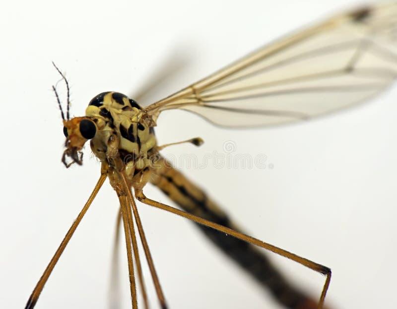 Παρασιτικό έντομο κουνουπιών στοκ εικόνες με δικαίωμα ελεύθερης χρήσης