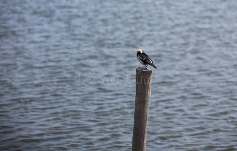 Παρδαλό αγιοπούλι ή ασιατικό παρδαλό ψαρόνι που στέκεται σε έναν πόλο πλησίον από τη λίμνη στοκ φωτογραφία