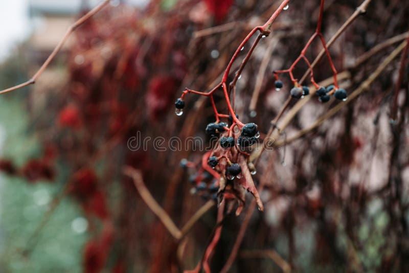 Παρθενόκις Tricuspidata Virginia creeper στον κήπο στοκ φωτογραφίες με δικαίωμα ελεύθερης χρήσης
