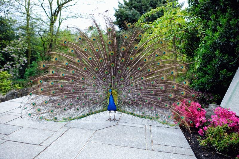 παρουσιάζοντας τα φτερά &ka στοκ φωτογραφία